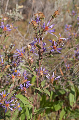 Thick-stemmed aster