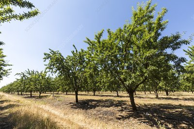 Almond trees for oil production