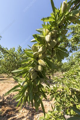 Almonds for oil production