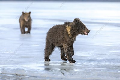 Brown bear cubs on ice