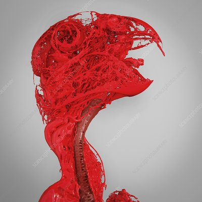 Parrot head and neck blood vessels, 3D CT scan