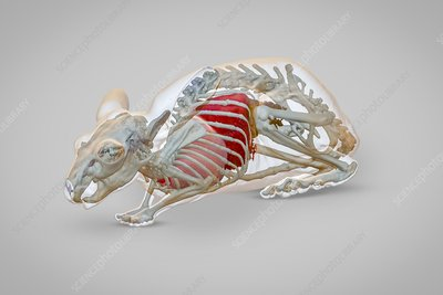 Chinchilla anatomy, 3D CT scan