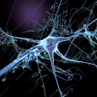 Nerve cell and dendrites, illustration