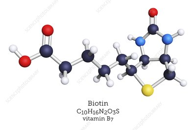 Molecular model of vitamin B7