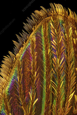 Mosquito wing, light micrograph