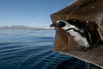 Black footed penguin about to be released