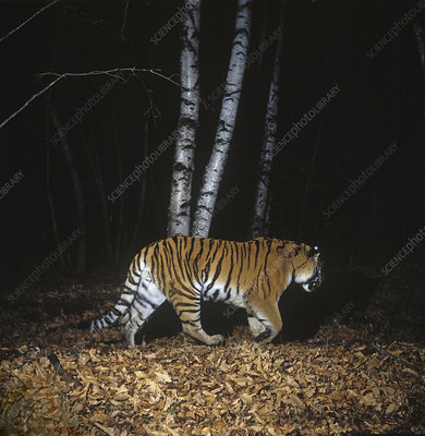 Camera trap image of wild Siberian tiger