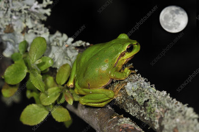Common tree frog sitting on branch