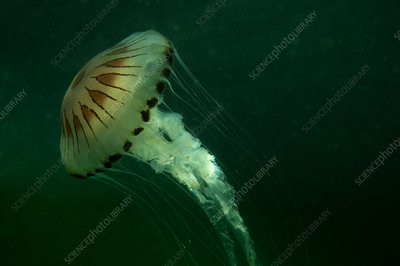 Compass Jellyfish, in murky water