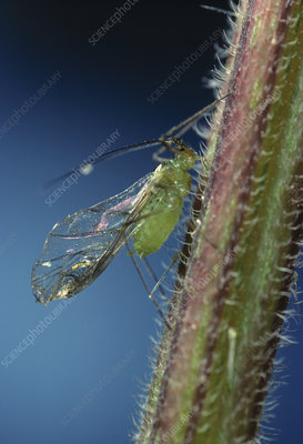 Green aphid extracting sap from stem