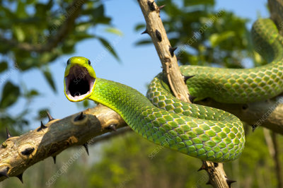 Green tree snake on a branch about to strike