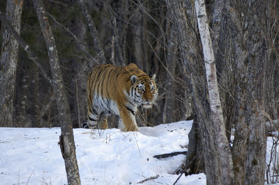 Wild Siberian tiger in woodland