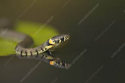 Grass snake on lily pad, reflected in water