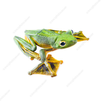 Wallace's flying frog male