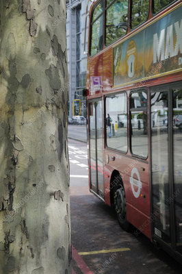 Peeling bark of pollution resistant London plane tree