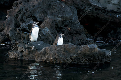 Galapagos penguins standing on coast