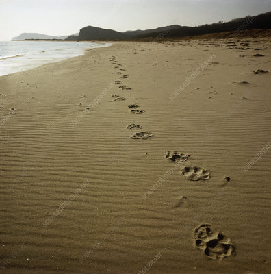 Footprints of an Amur tiger