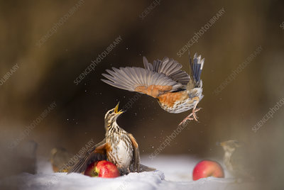 Redwing protecting a windfall apple