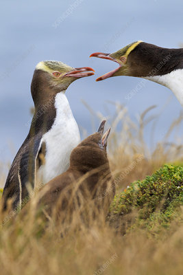 Yellow-eyed Penguins vocalising with chick