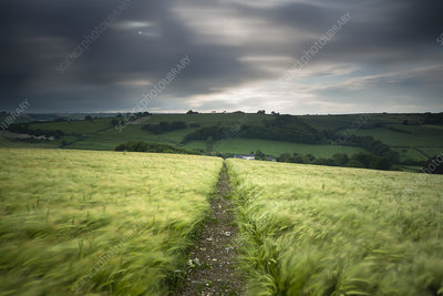 Track through a field of barley under stormy sky