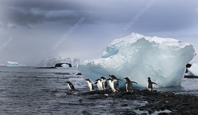 Gentoo Penguins about to enter the sea