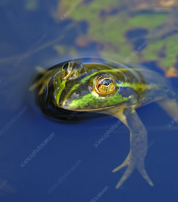 Dahl's Aquatic frog in water