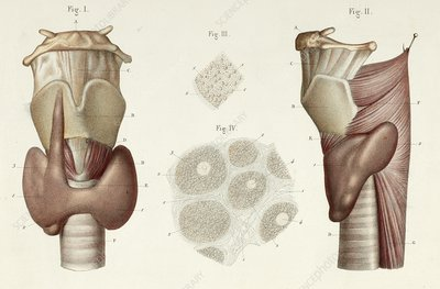 Illustration Of The Human Thyroid Gland And Larynx Search