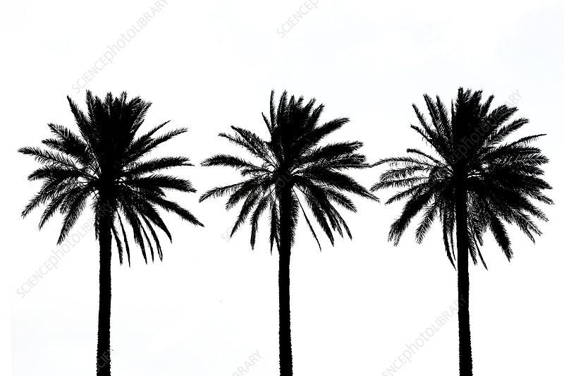 Date palms (Phoenix dactylifera)