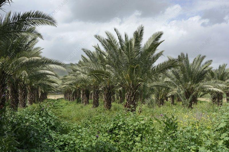 Date palm (Phoenix dactylifera) plantation, Israel