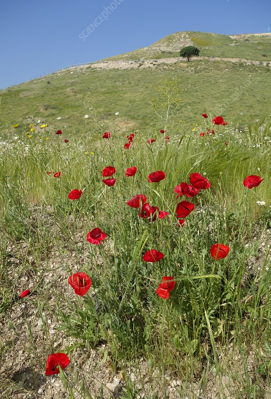 Poppies (Papaver rhoeas) on the Golan Heights