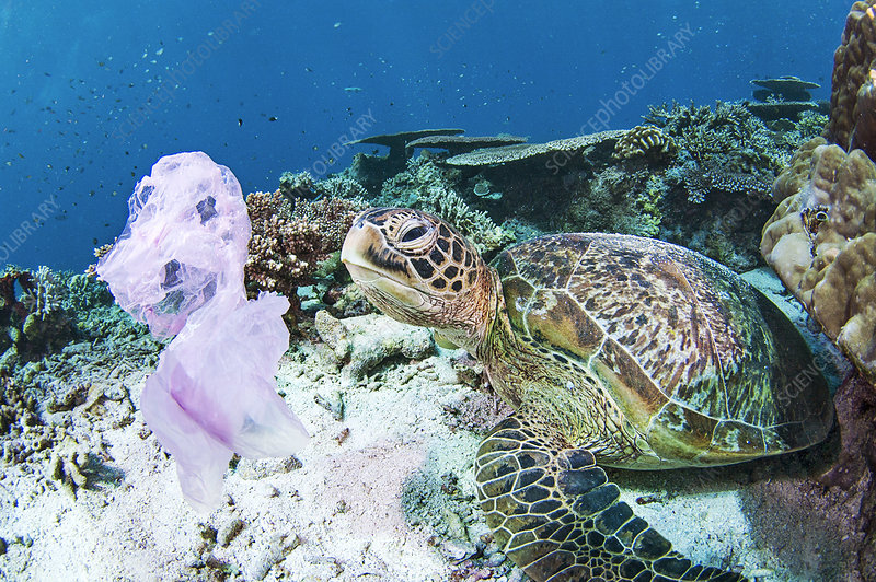 Green turtle and waste plastic bag