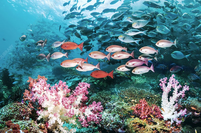 Pinjalo snappers over a coral reef