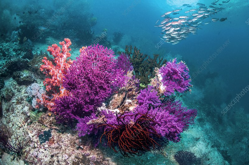 Gorgonian and reef fish