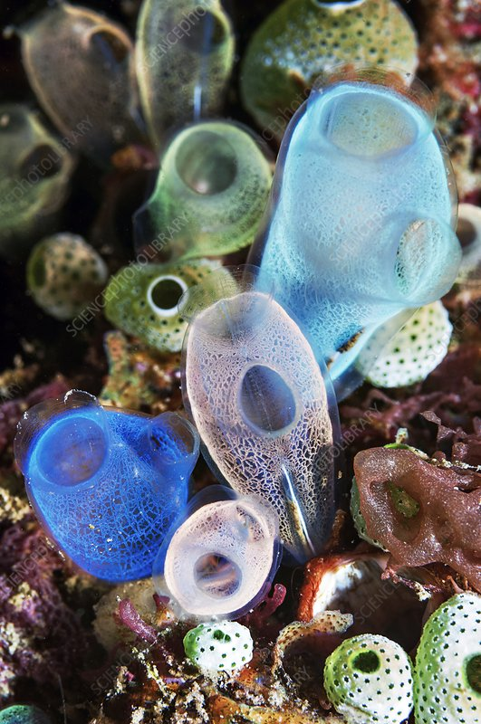 Rhopalaea and Atriolum sea squirts