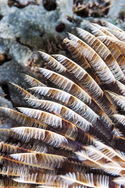 Indian fan worm