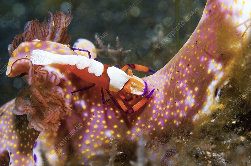 Emperor shrimp on a nudibranch