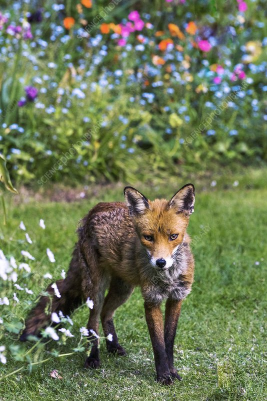 Red fox vixen