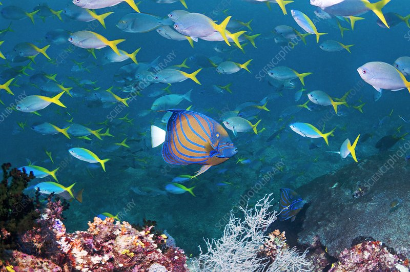 Bue-ringed angelfish and fusiliers