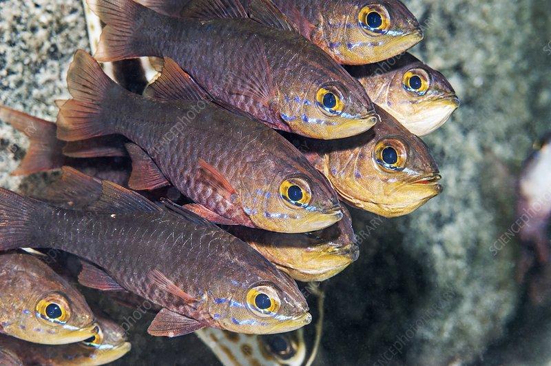 Yellow-lined cardinalfish