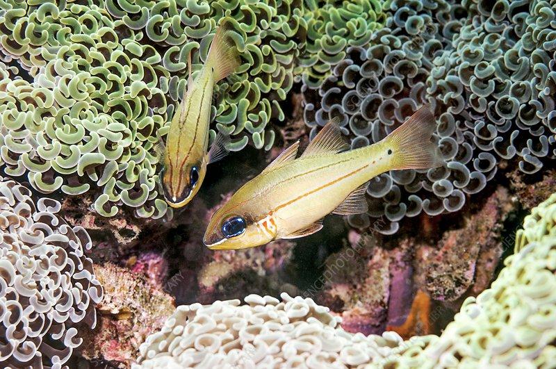 Cheek-bar cardinalfish