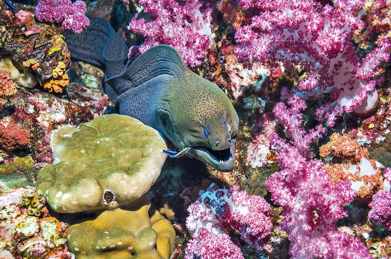 Giany moray being cleaned by a wrasse