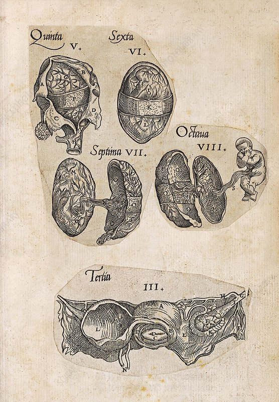 Childbirth anatomy illustrations, 16th century