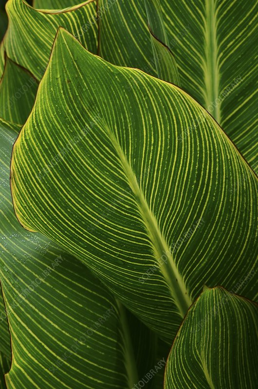 Indian shot (Canna indica) leaves