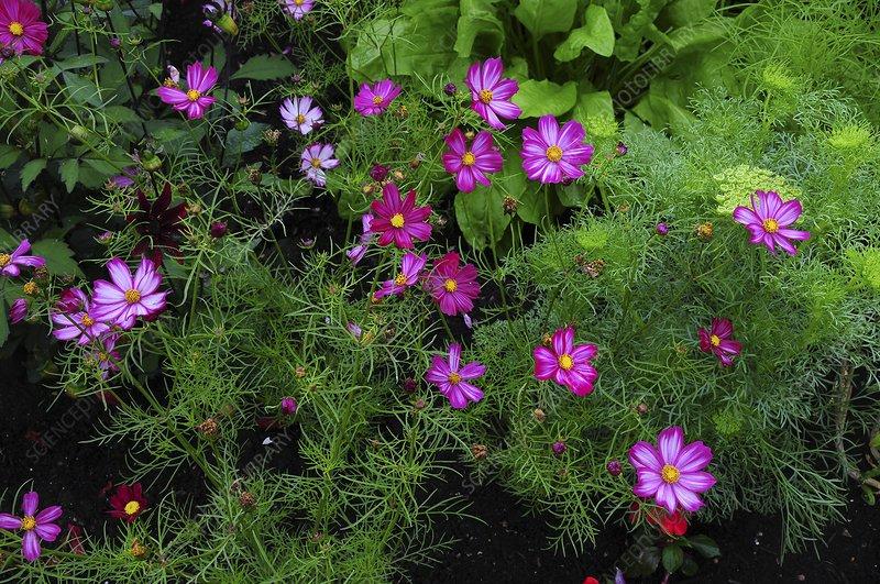 Cosmos bipinnatus 'Candy Stripe' flowers