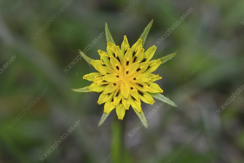Goatsbeard (Tragopogon pratensis) flower