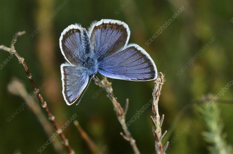Male silver-studded blue butterfly