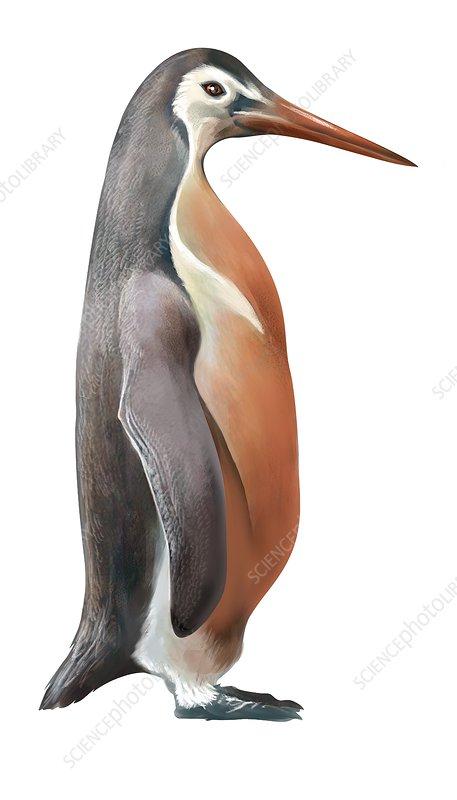 Inkayacu paracasensis, extinct penguin, illustration