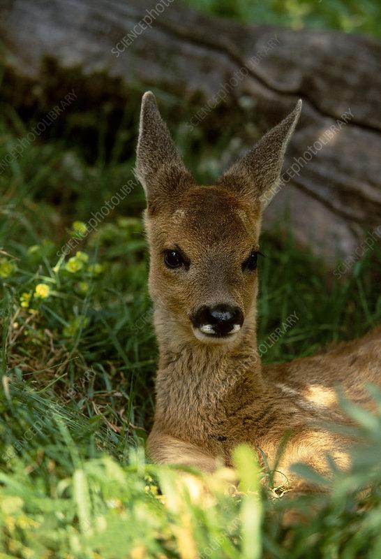 Roe deer fawn resting