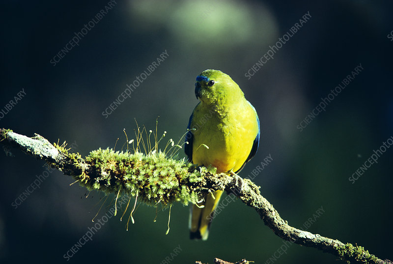 Orange bellied parrot male