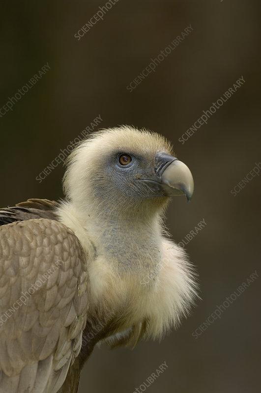 European Griffon Vulture